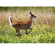White-tailed Deer Fawn Photographic Print