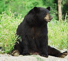 American Black Bear by Al Mechler