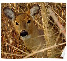 Peek A Boo (White-tailed Deer) Poster