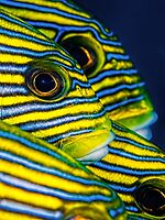 Eyes and Stripes by Henry Jager