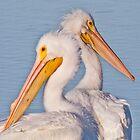Pelican Pair by noffi