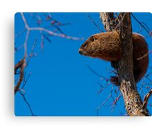 Groundhog up a Tree Canvas Print