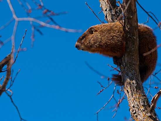 Groundhog up a Tree by Benjamin Brauer