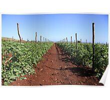 tomatoes plantation Poster