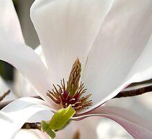 Magnolia V by Tanja Katharina Klesse