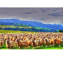 Sheep New Zealand Photographic Print