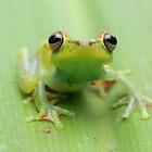 Scarlet-webbed treefrog by blendenwahl
