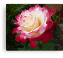 Double Delight as a full bloom Canvas Print