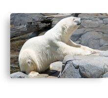 Polar Bear, Queensland, Australia Metal Print