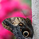 blue morpho by Manon Boily