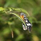 Australian Grape Vine Moth by dilouise