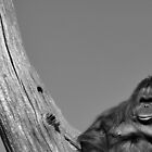 King Of Orang Utans Black And White  by Sam Halford