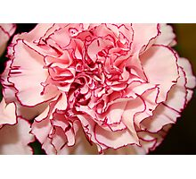 Carnation Edged in Red Photographic Print