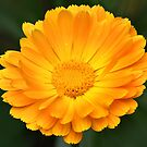 Calendula by PhotosByHealy
