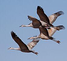012811 Sandhill Cranes by Marvin Collins