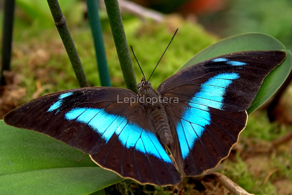 Banded King Shoemaker - Archaeoprepona demophoon by Lepidoptera