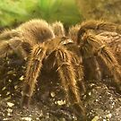 Chilean Rose Tarantula (Grammostola rosea) by Michaela1991