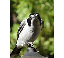 Butcher Bird Photographic Print