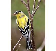 Male American Goldfinch~ Breeding Colors Photographic Print