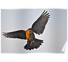 Female Grackle In Flight Poster
