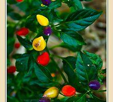 Rainbow Chilli - The Chilli Collection #1 by Odille Esmonde-Morgan