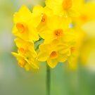 Daffodil Joy by Sarah-fiona Helme