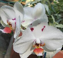 Orchids in the back yard by Mahooney