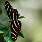 Zebra Long Wing Butterfly by Diane Blastorah