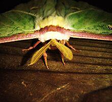 Luna Moth by KyleMWhite