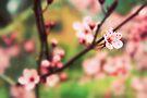 Cherry blossom by Joshua Greiner