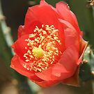 Cactus flower close-up by Elena Skvortsova
