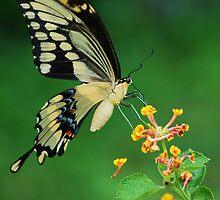 Giant Swallowtail by Janice McCafferty