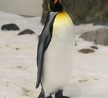 King Penguin, Melbourne Aquarium. by elphonline