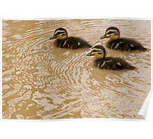 Baby black ducks Poster