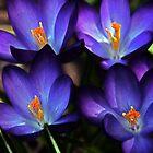 First Gift of Spring by LudaNayvelt