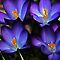 WON the 'Flowering Bulbs – The Color Blue' challenge of group 'Flowering Bulbs' on 29 Mar 2012