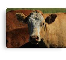 Cow on the Prairies Canvas Print