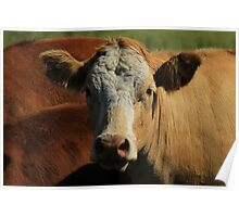 Cow on the Prairies Poster