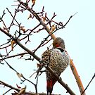 Northern Flicker preening by amontanaview