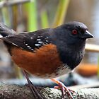 Spotted Towhee by titus