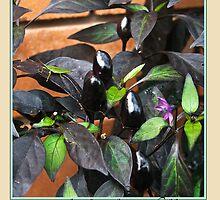 Black Olive Chilli - Chilli Collection #2 by Odille Esmonde-Morgan