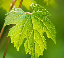 Green Leaf Fox Grape by Christina Rollo