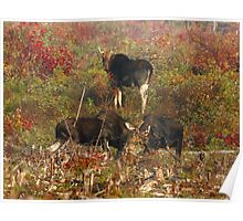 Maine bulls & cow moose Poster
