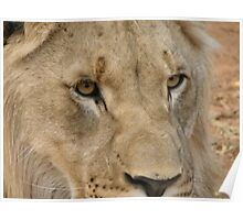 Lion laying down, Africa Poster