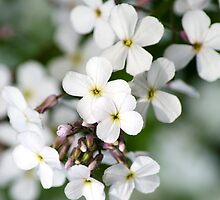 White Wildflowers by Christina Rollo