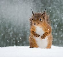 Red Squirrel in the Snow by Nigel Tinlin