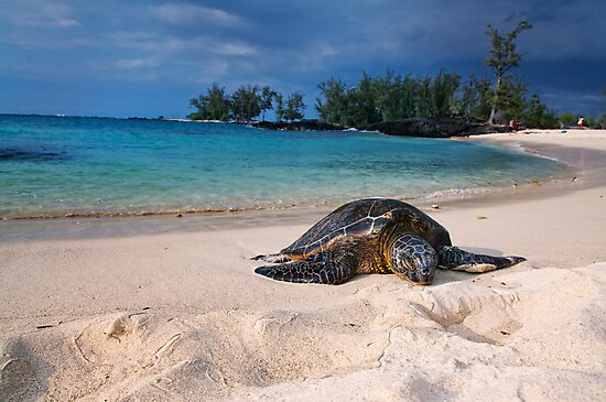 Turtle Sleeping on Beach by Flux Photography