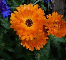Orange Calendula and Blue Bachelor Button by Rahfookie
