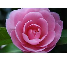 Softh Pink Rose Photographic Print