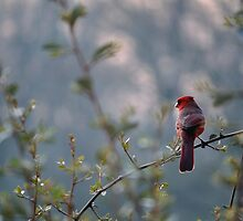 Northern Cardinal At Sunrise by Gretchen Dunham